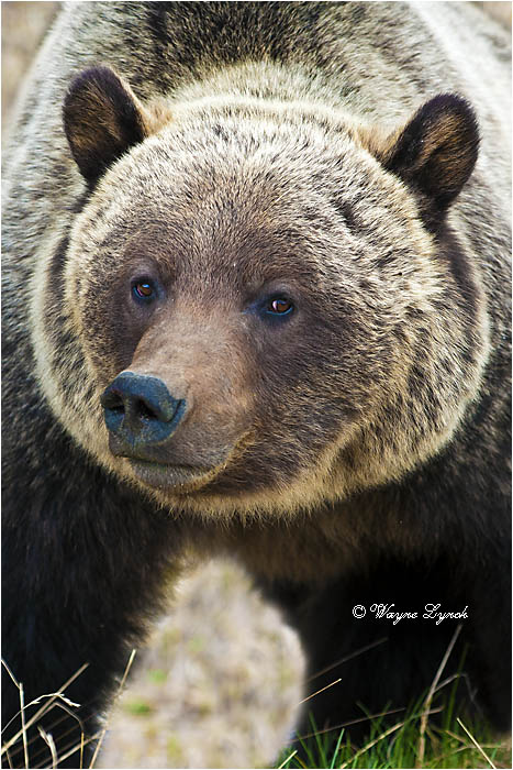Mountain Grizzly Bear 101B by Dr. Wayne Lynch